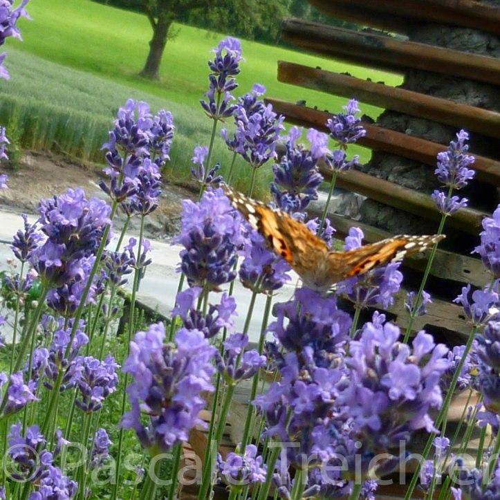 20120623-Lavendel - Schmetterling - 803.jpg