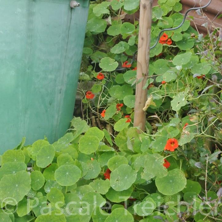 20141124-Wasserfass - Kapuzinerkresse - 2014-11 140