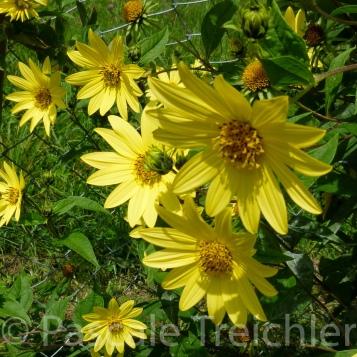20120917-Sonnenblume - (596)
