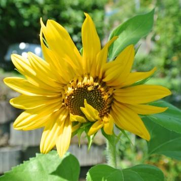 20150731-Sonnenblumen - 2015.07 070 (2)