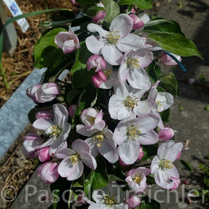 Apfel - Spalier - 04 165-3