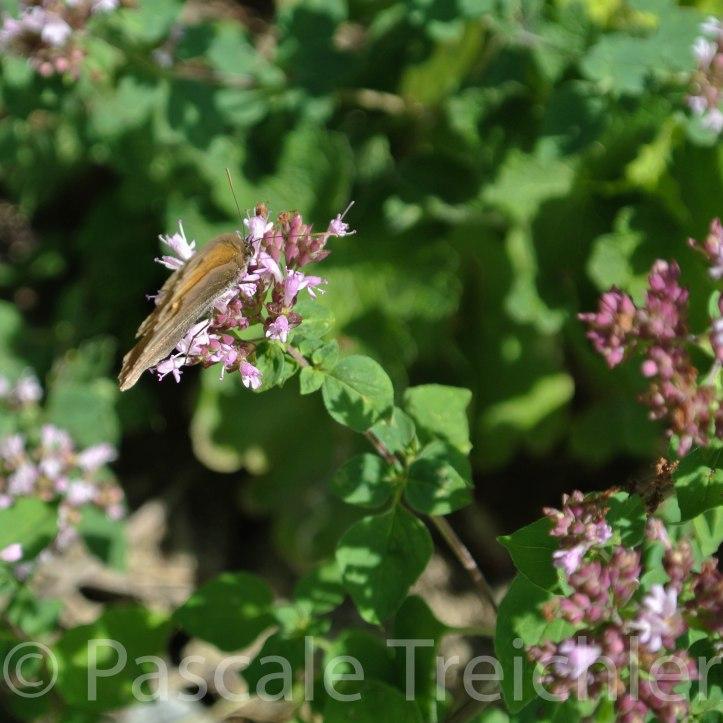 20130806-Majoran - Schmetterling -08 155