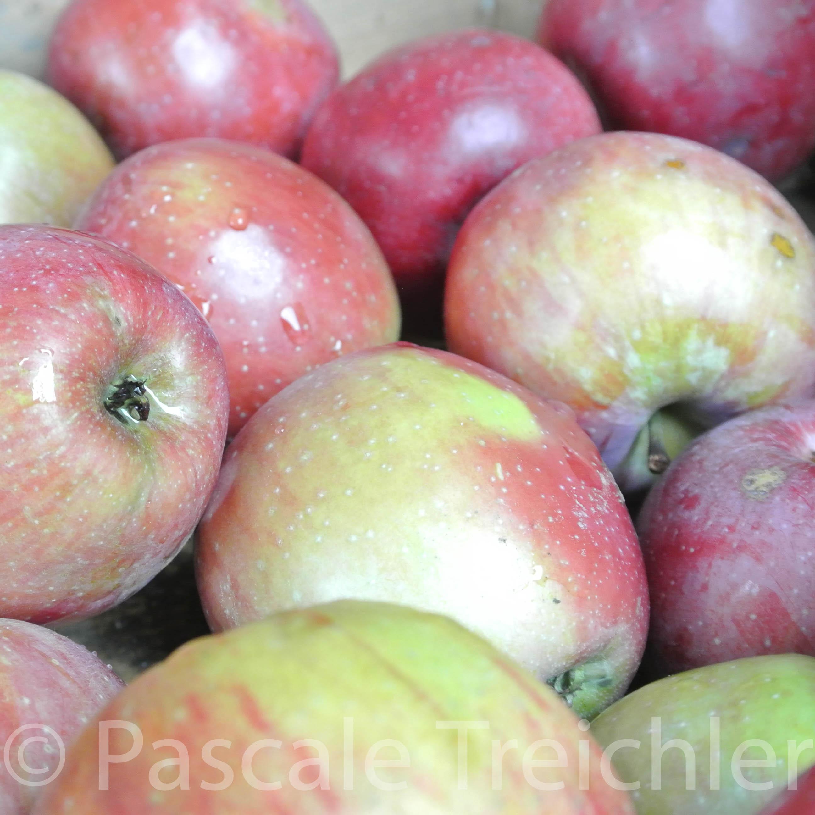 Apfel - Boskoop 6211-3
