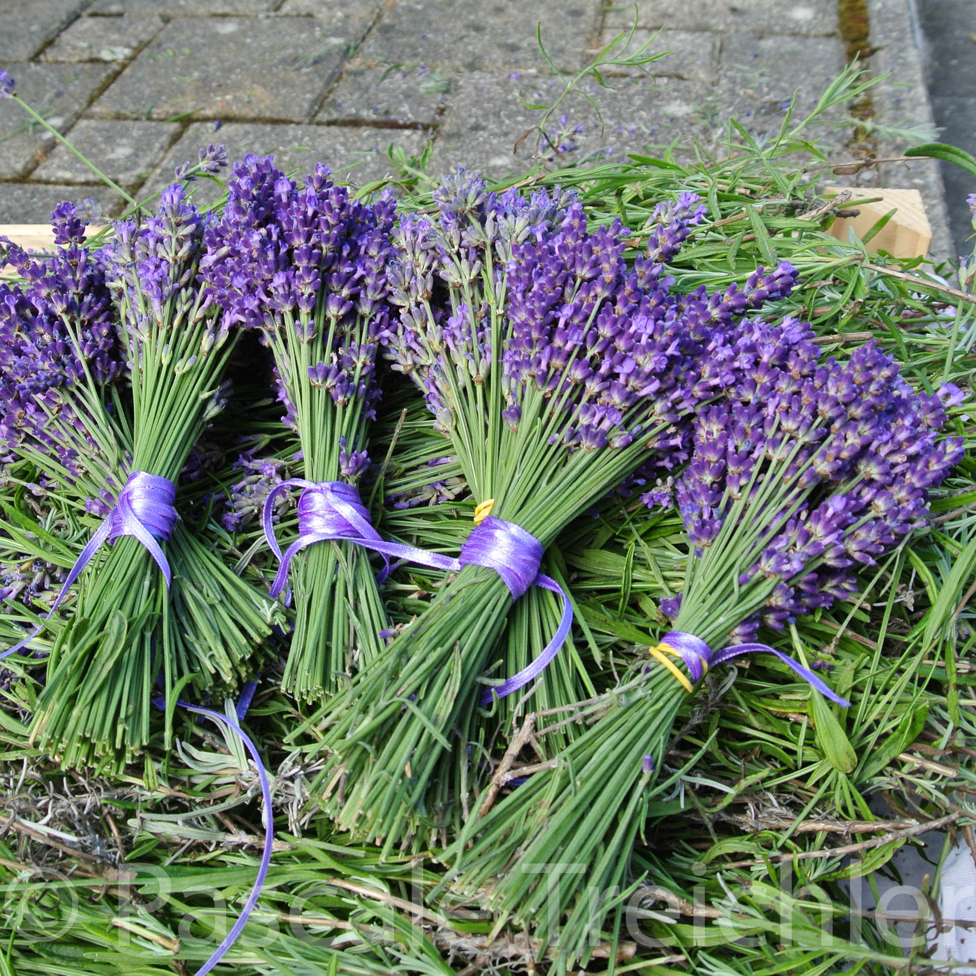 Lavendel - 06 434-3