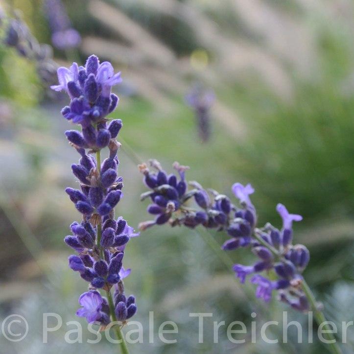 Lavendel 6283-3.jpg