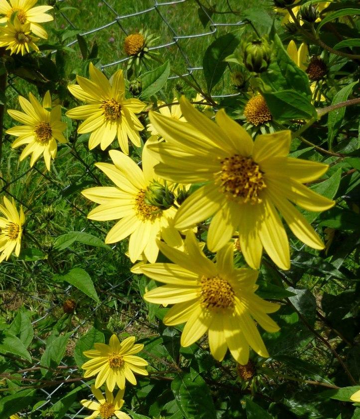 Sonnenblume - (596)-3