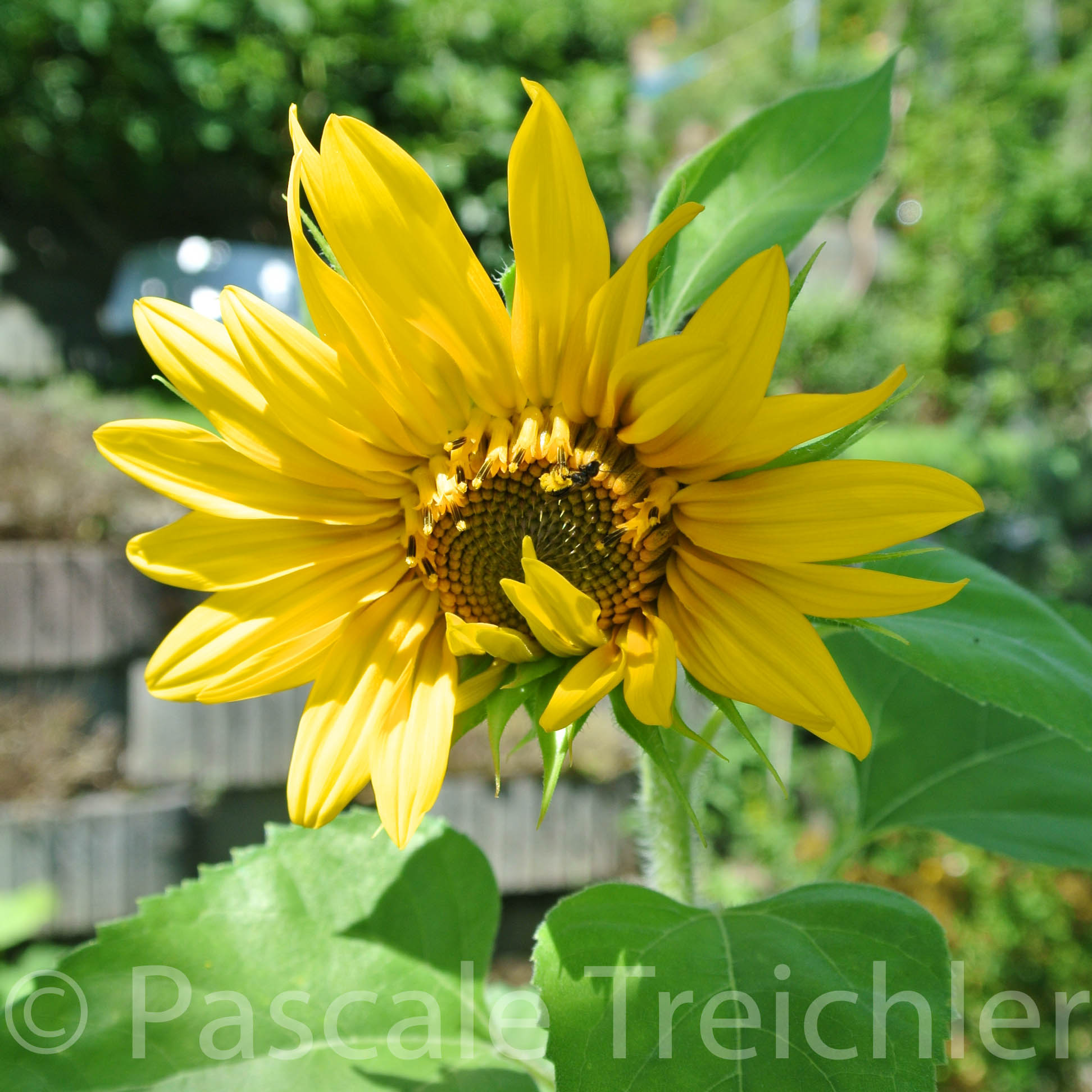 Sonnenblumen - 2015.07 070 (2)-3