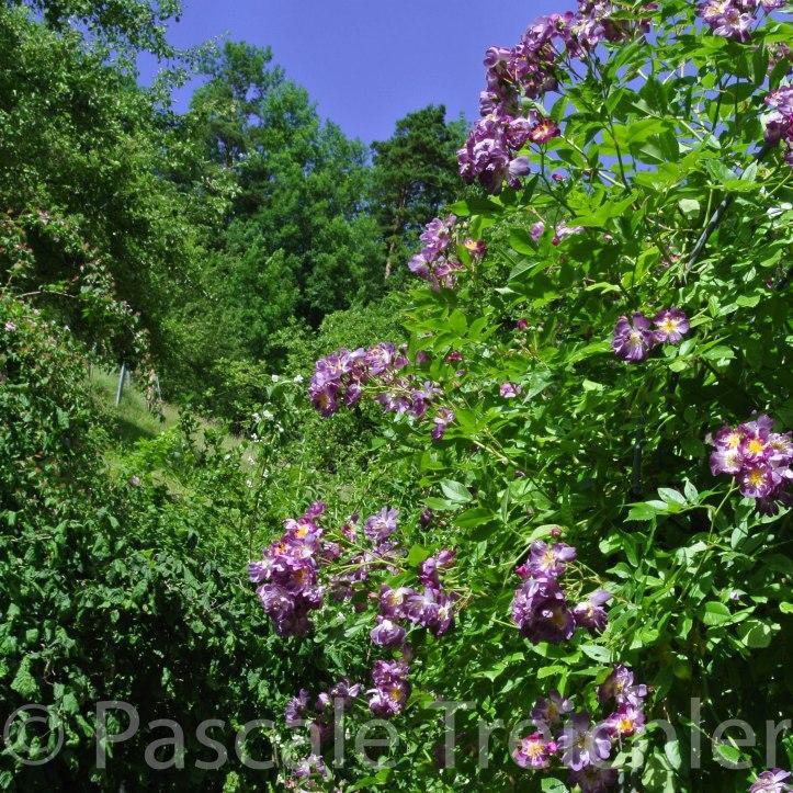 Rosen - Veilchenblau - 5078