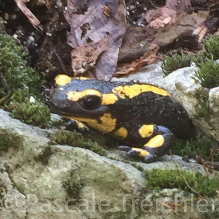 Salamander 3872