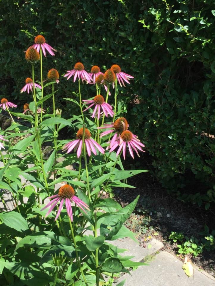 Echinacea 1790-2