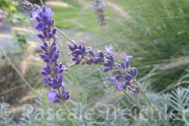 Lavendel 6279