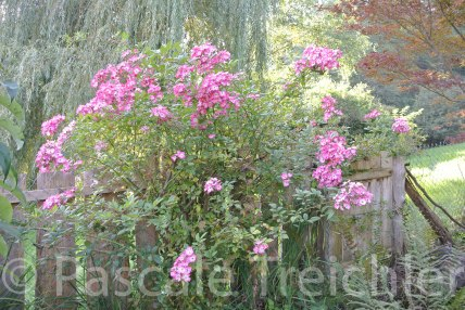 Rose Mozart 6271