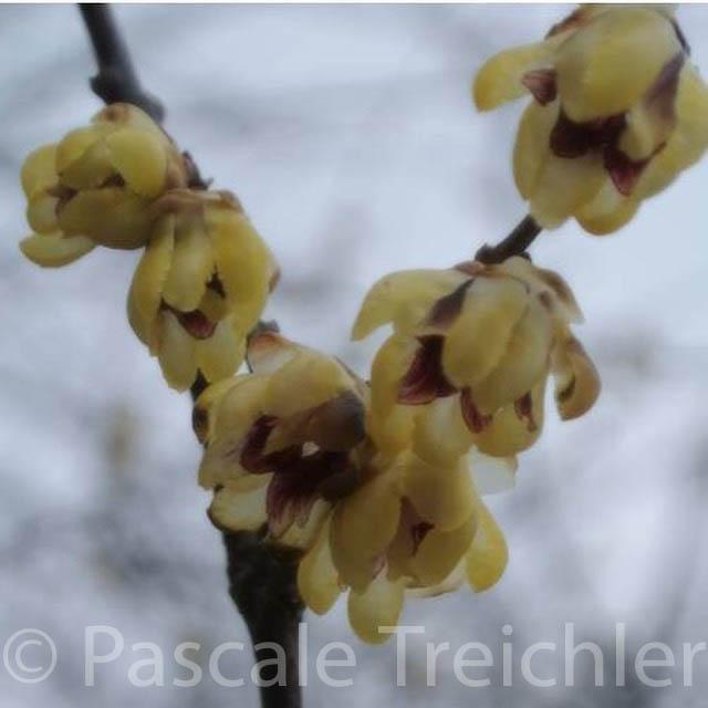 Cimoneanthus 2016.04 871-2