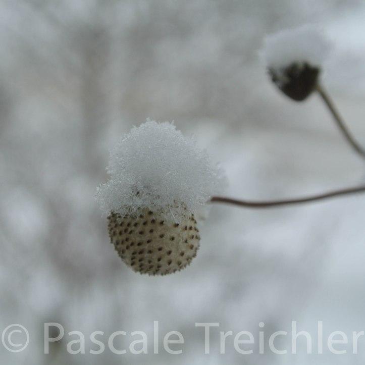 Herbstanemone - Schnee - 3699-2