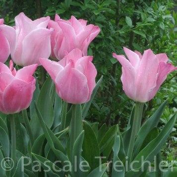 Tulpen - 2015.05 025-2