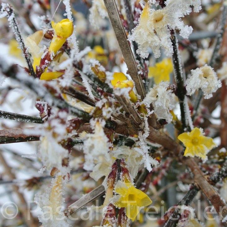 Winterjasmin 12._3611-2