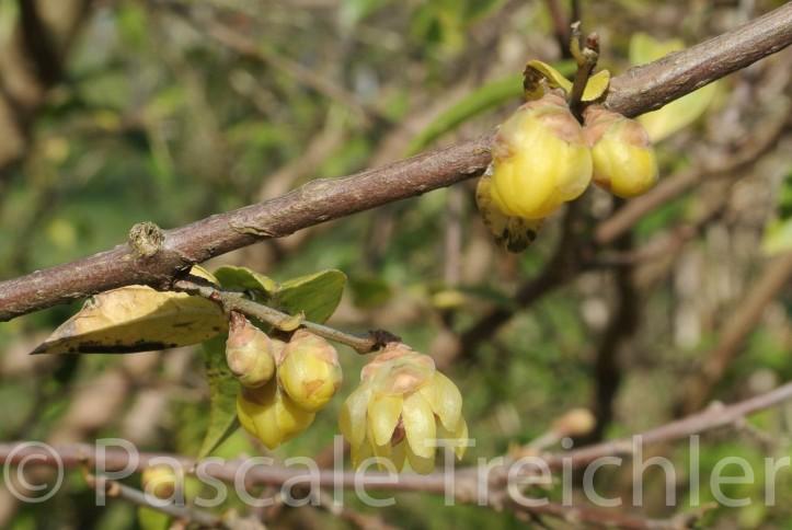 Cimoneanthus -11 122-2