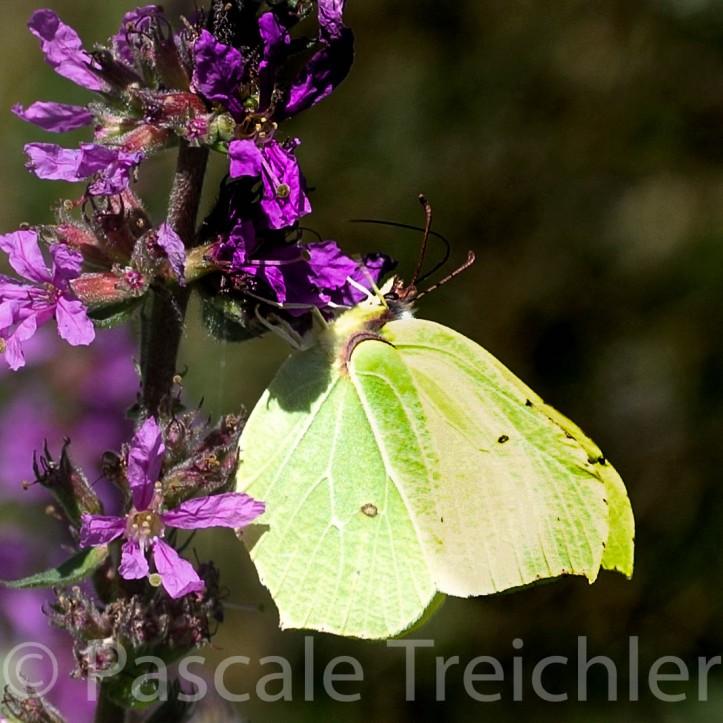 Blutweiderich - Schmetterling 2014-07 136-3