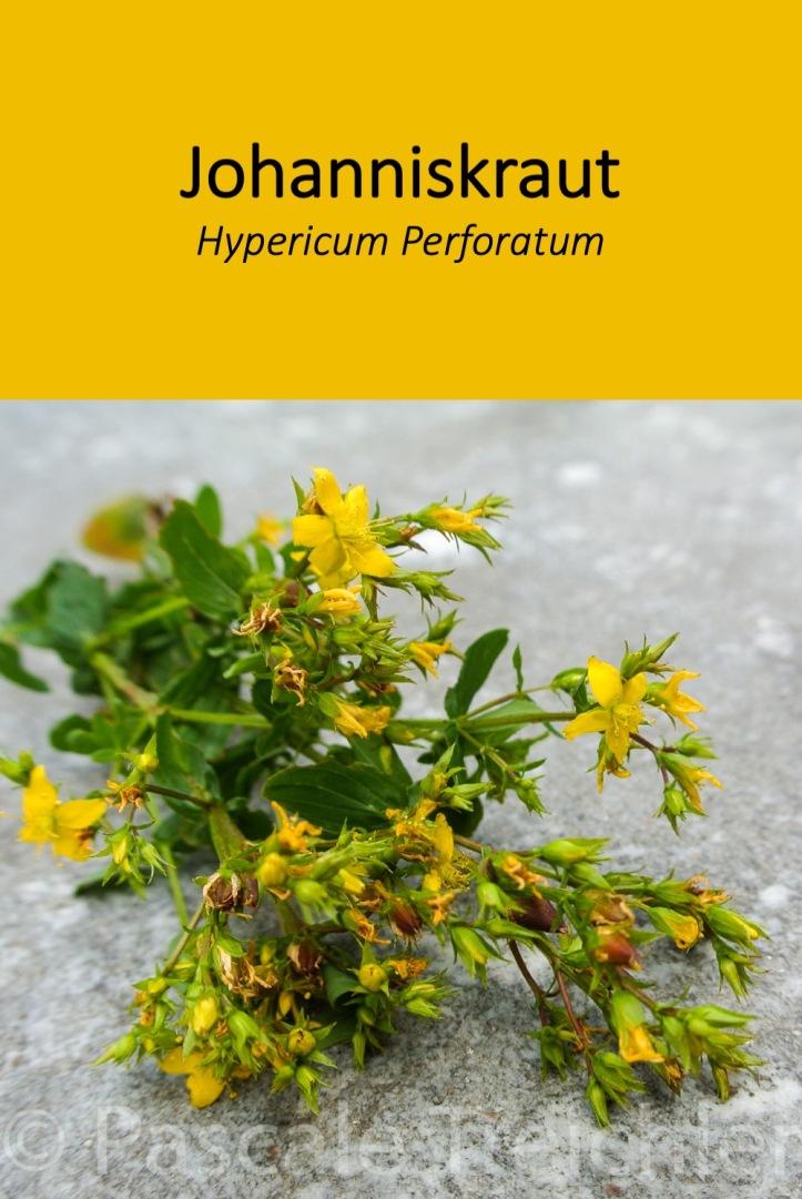 Das Johanniskraut ist nicht nur eine fröhliche Gartenpflanze. Es kann auch als Heilpflanze gut genutzt werden.